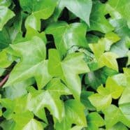 - Hedera helix Green RippleAverage growing ivy with dark green leaves. Tendrils are well branched and keeps its leaves all seasons.