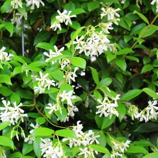 - Trachelospermum jasminoidesGlossy, dark green leaves often turning bronze-red in winter. Sweetly fragrant spring flowers.