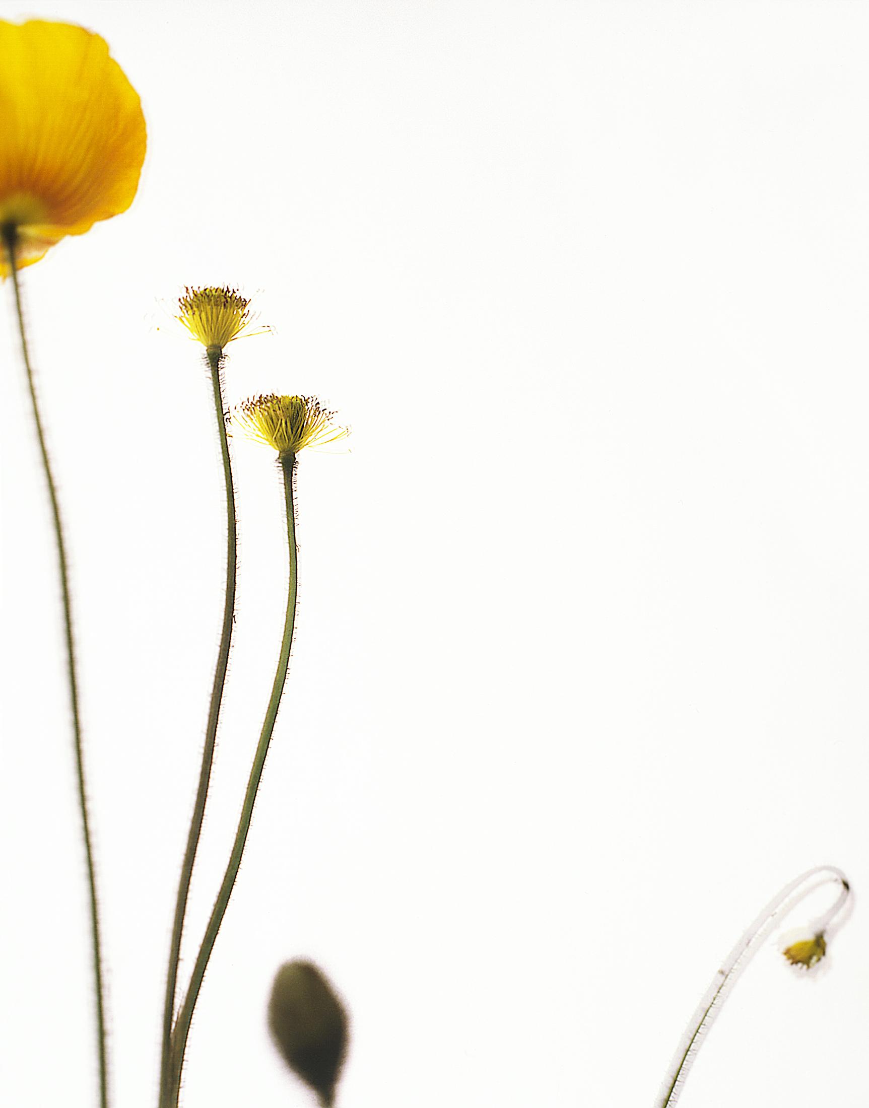 PARFUM_coquelicotjaune1_001©AudeSIRVAIN.jpg