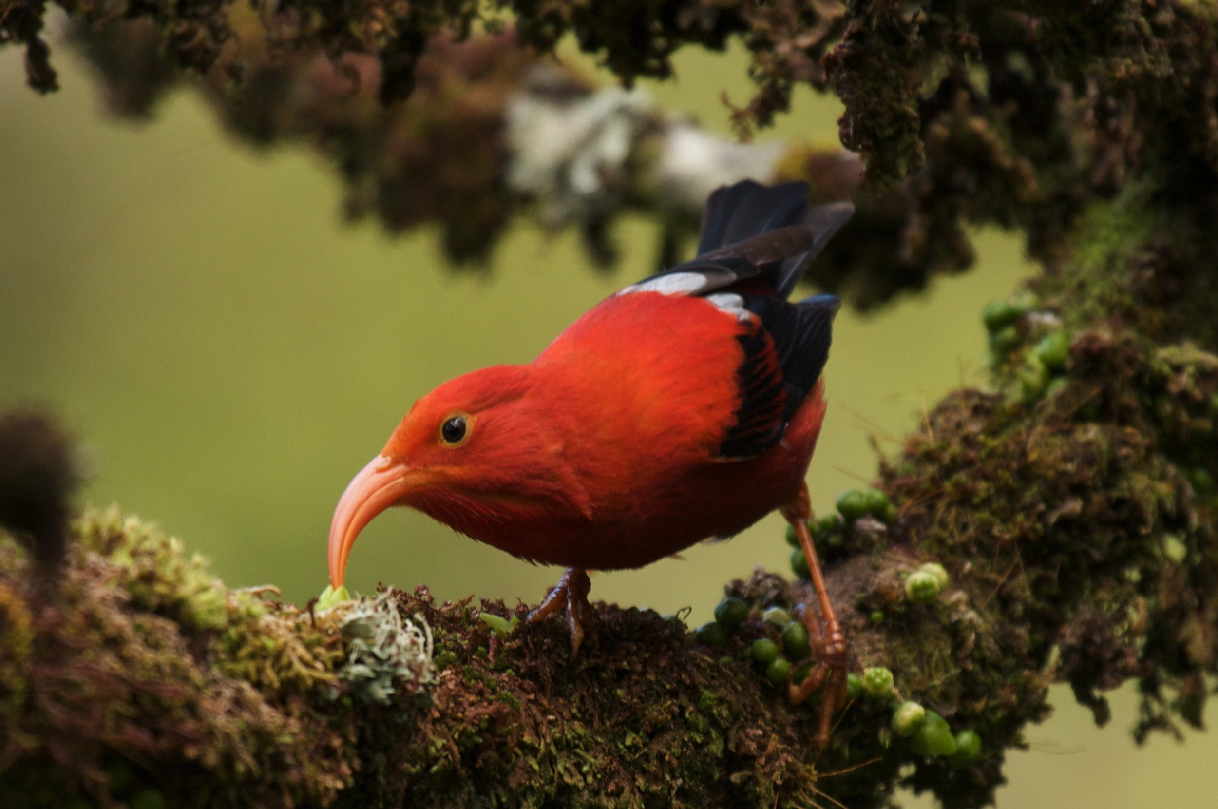 Honeycreeper decline in Kaua'i