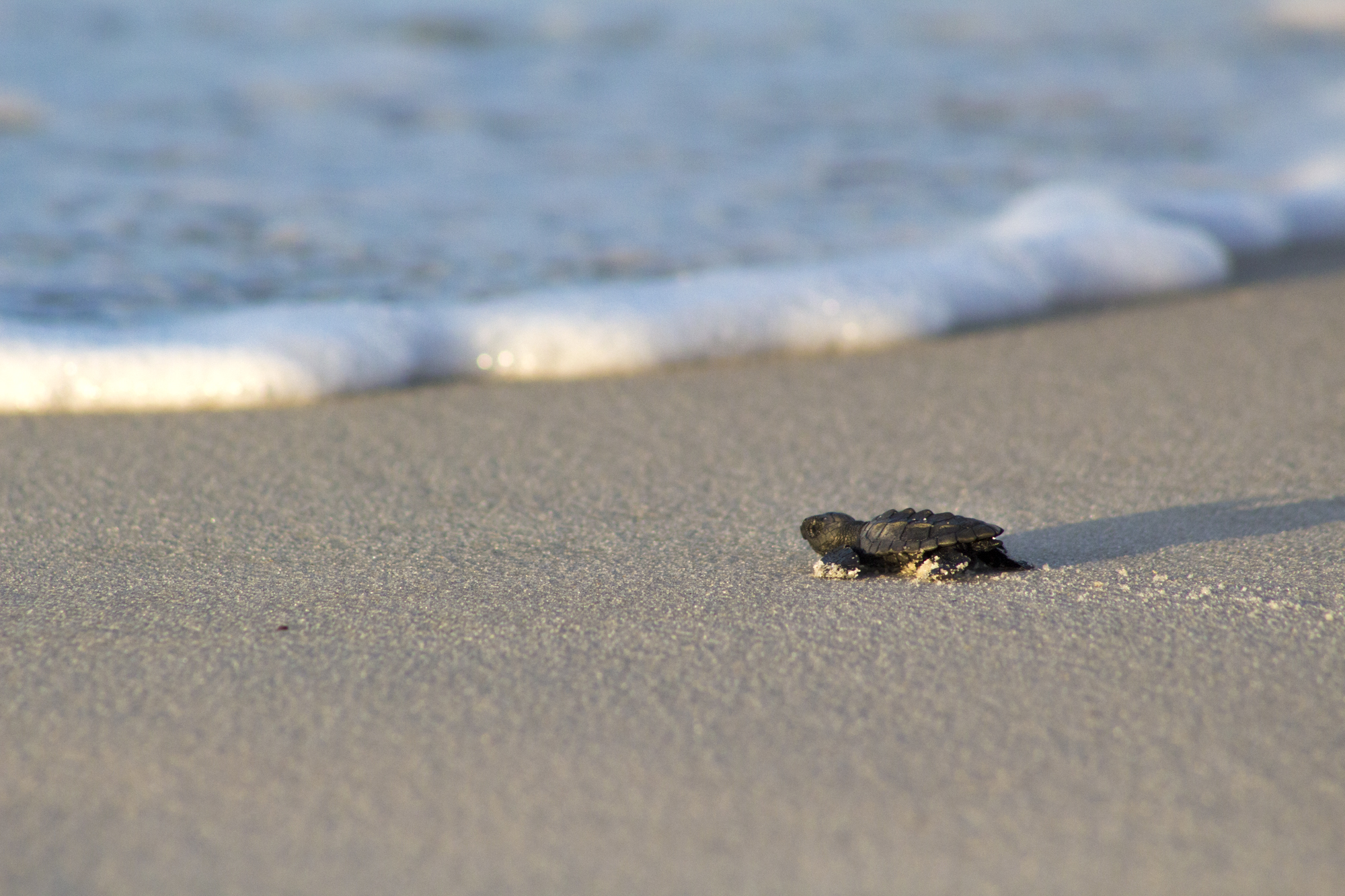 Predicting Wave Wash Overs for Sea Turtle Nests