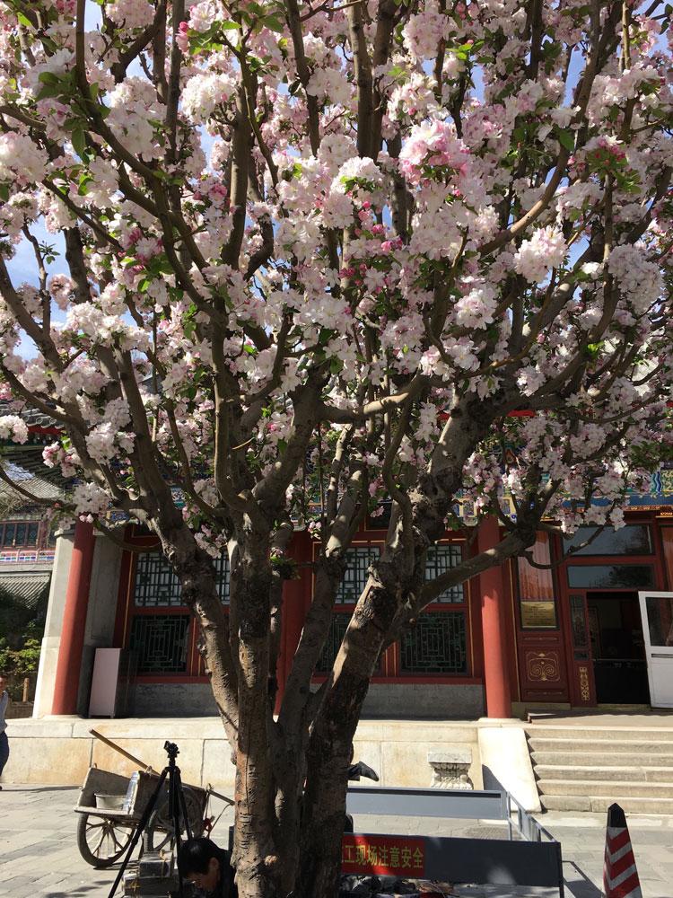 Cherry Tree in Beijing