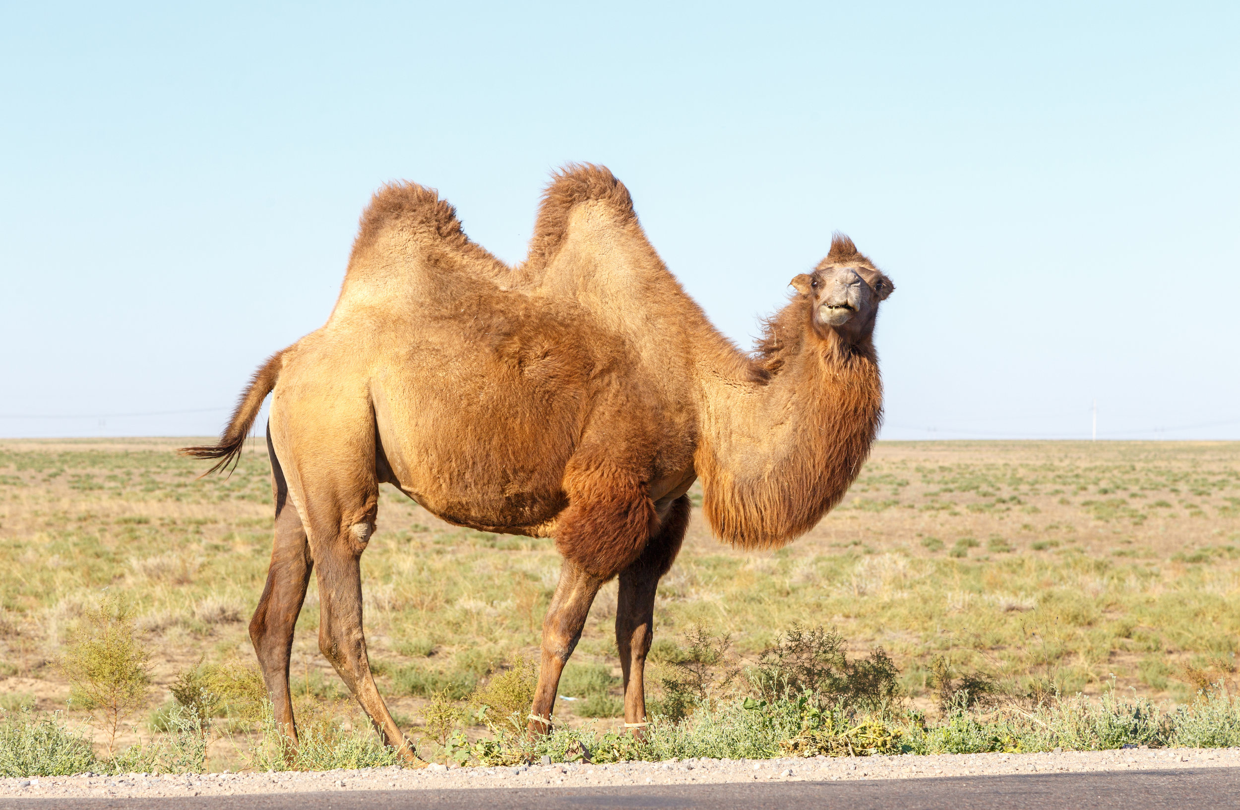 A camel has adapted to survive in the hot desert.