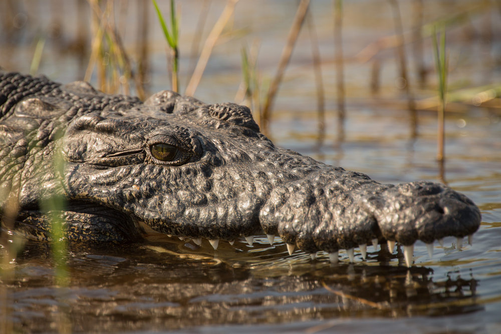 A Nile crocodile sits in the water.