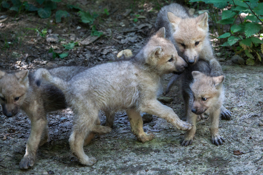 These wolf pups will grow up in the tundra.