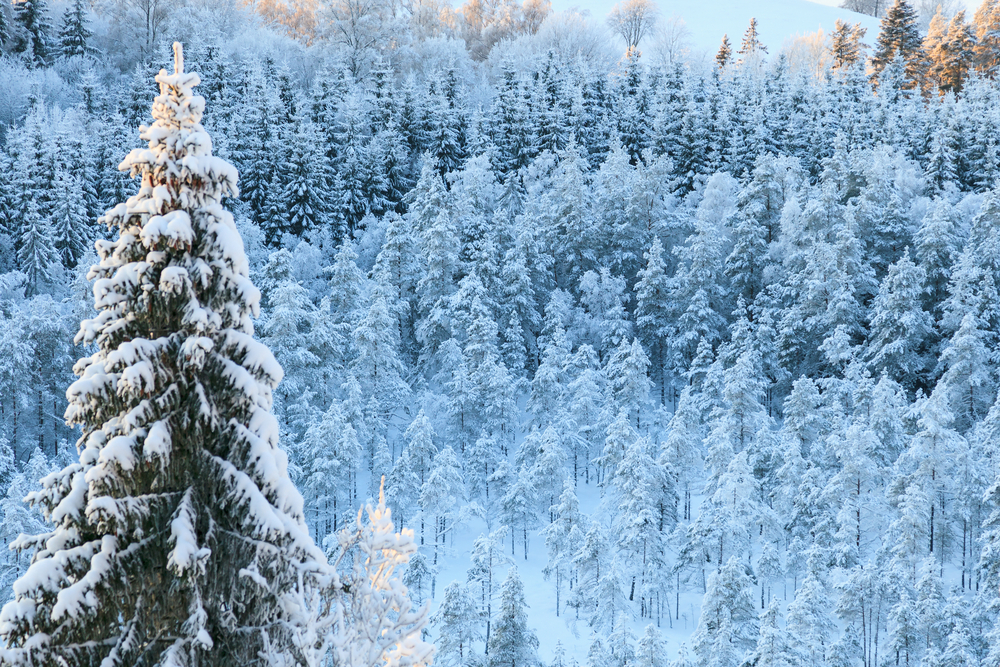 Taiga forests are made up of evergreen trees.