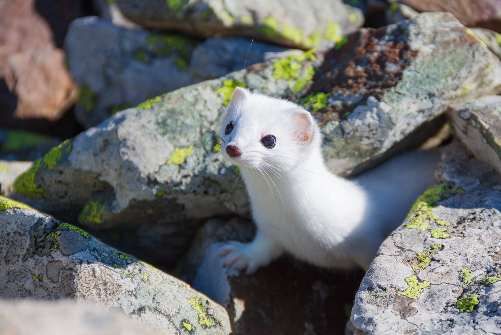 The ermine's white fur allows it to hide in the snow.