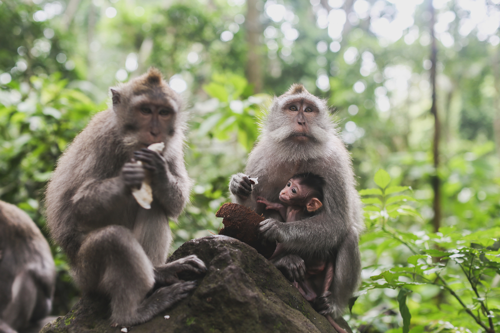 These monkeys live in a tropical rainforest.