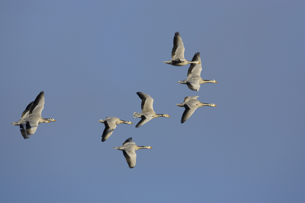 Bar-headed geese fly within the lower part of the stratosphere.