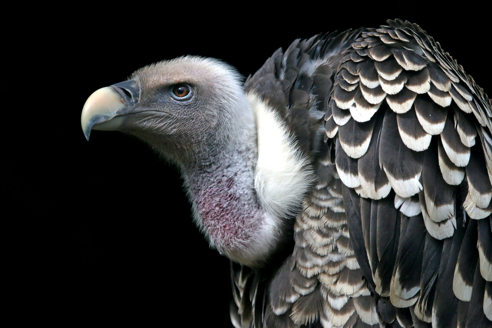 Rüppell's vulture can fly within the lower part of the stratosphere.