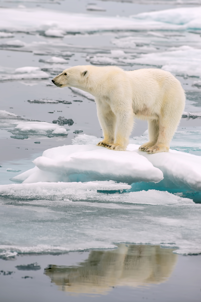 Melting polar ice caps mean less habitat for polar bears.