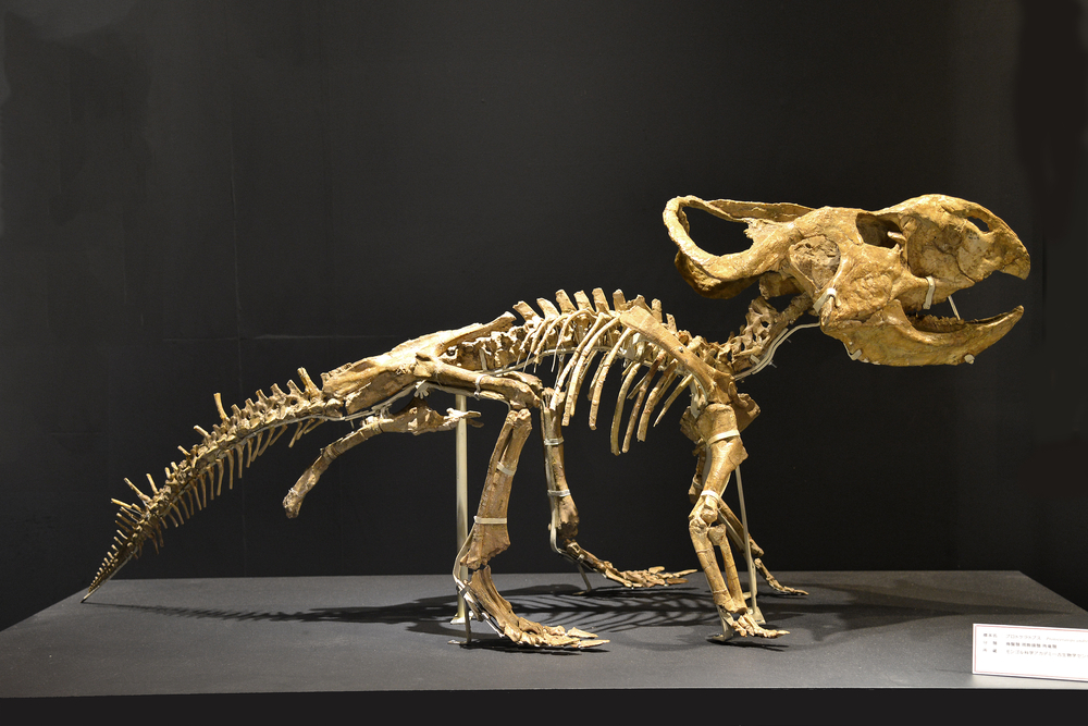 Once the dinosaur bones have been removed from the ground, they can be put together to make a skeleton.