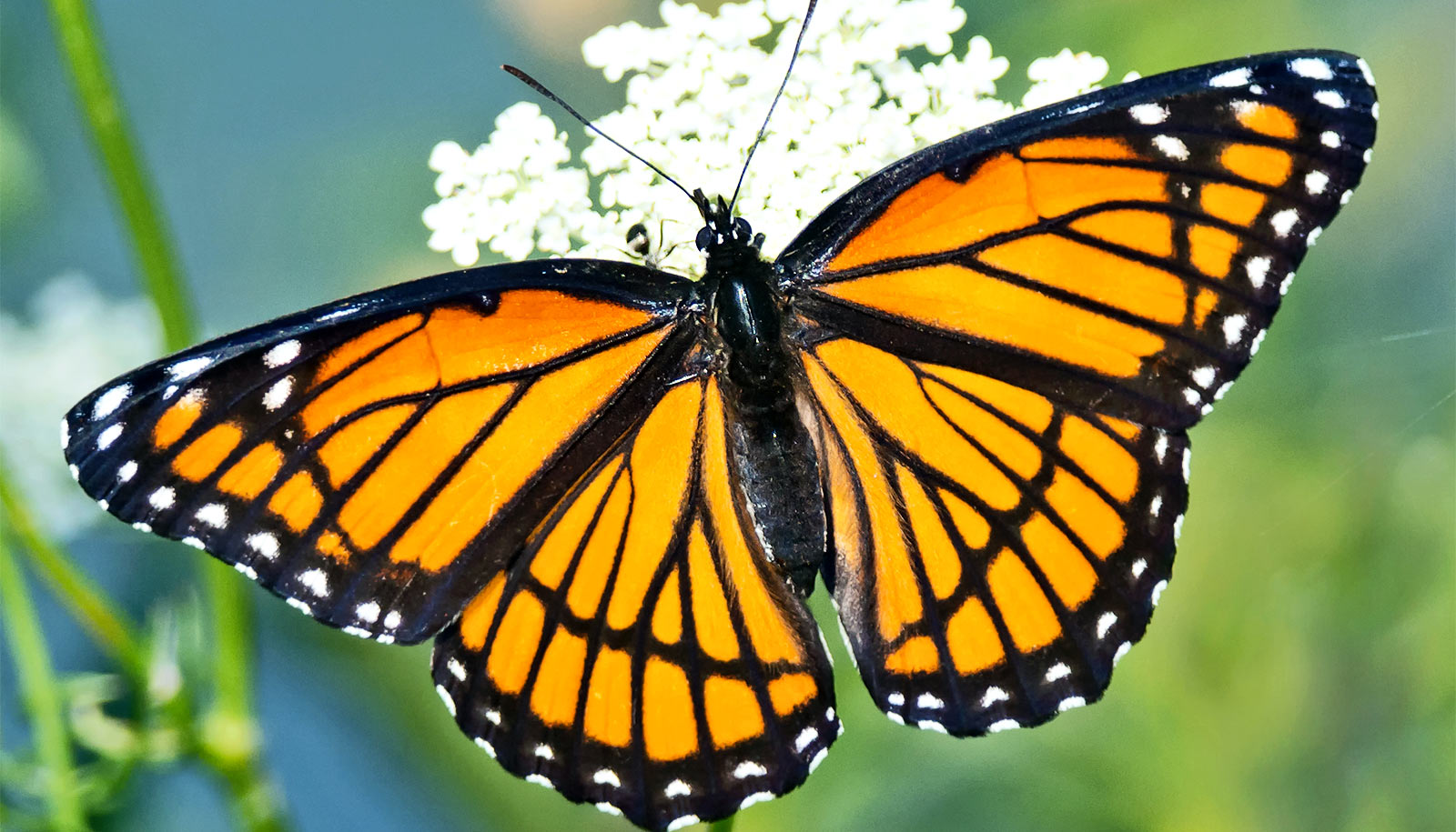 viceroy-butterfly_1600.jpg