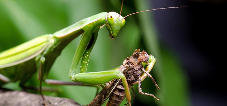 praying-mantis-2.jpg