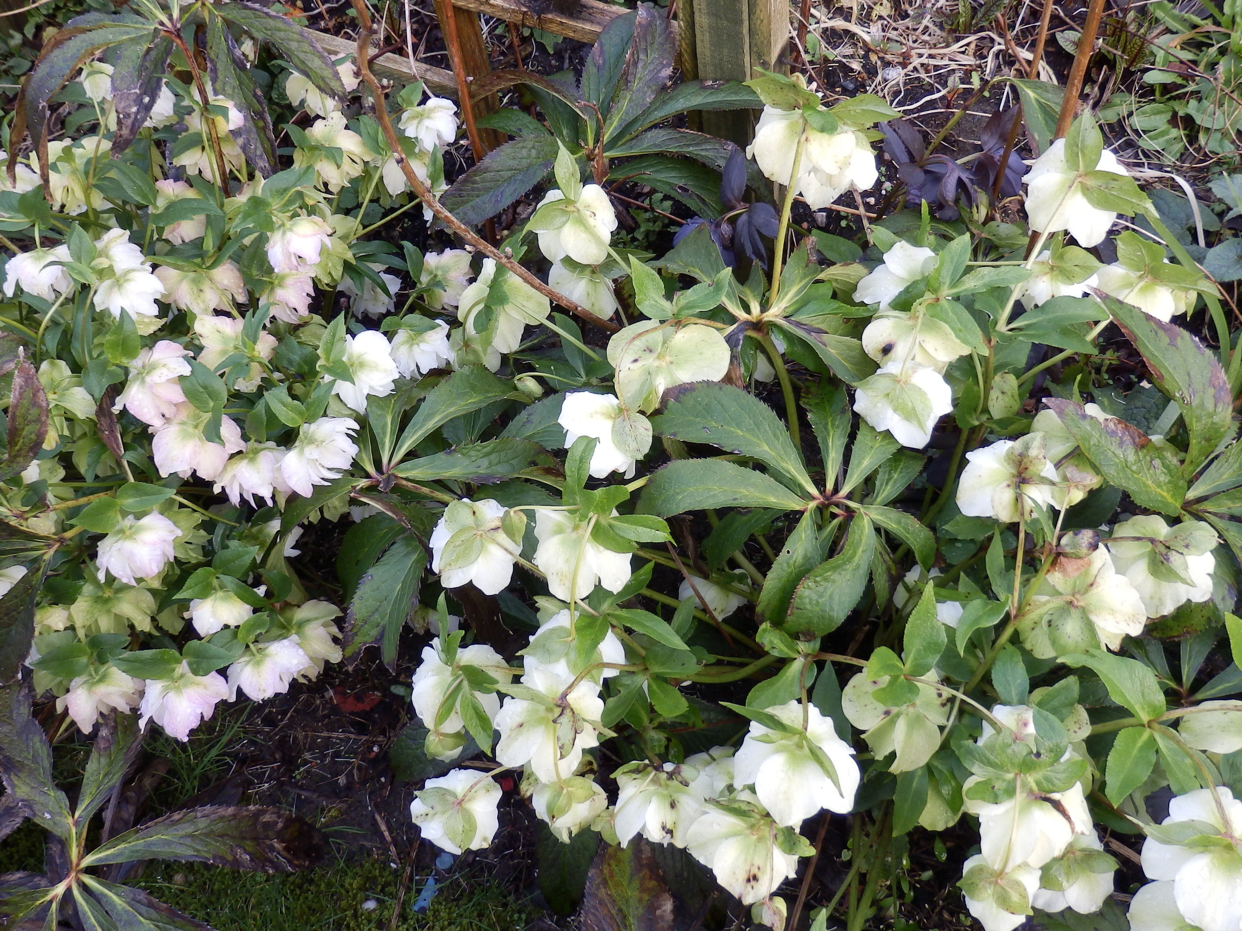 "Similar white hellebore demonstrating the size and habit of ""Spanish Flare"". Image via  Leading A Horticulture"