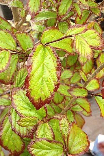 summer leaf color