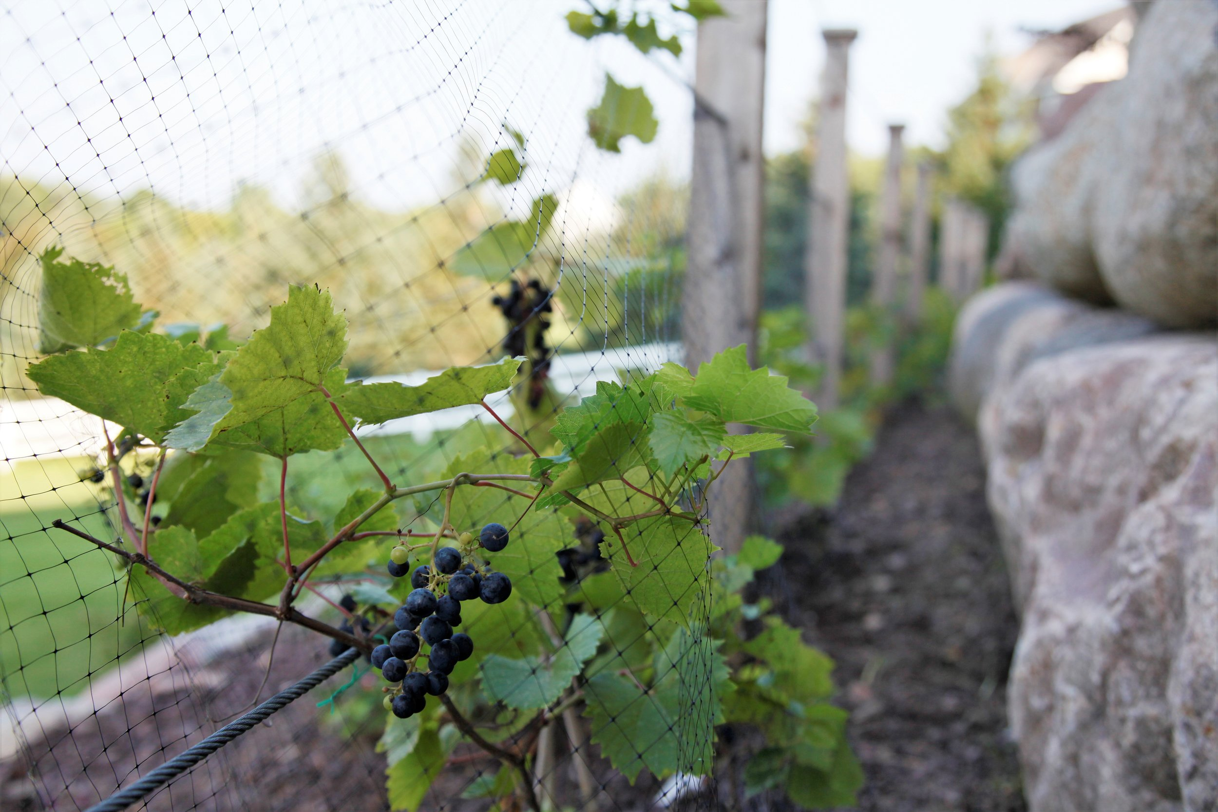 Mom's Design Build - Backyard Grapevine Vineyard