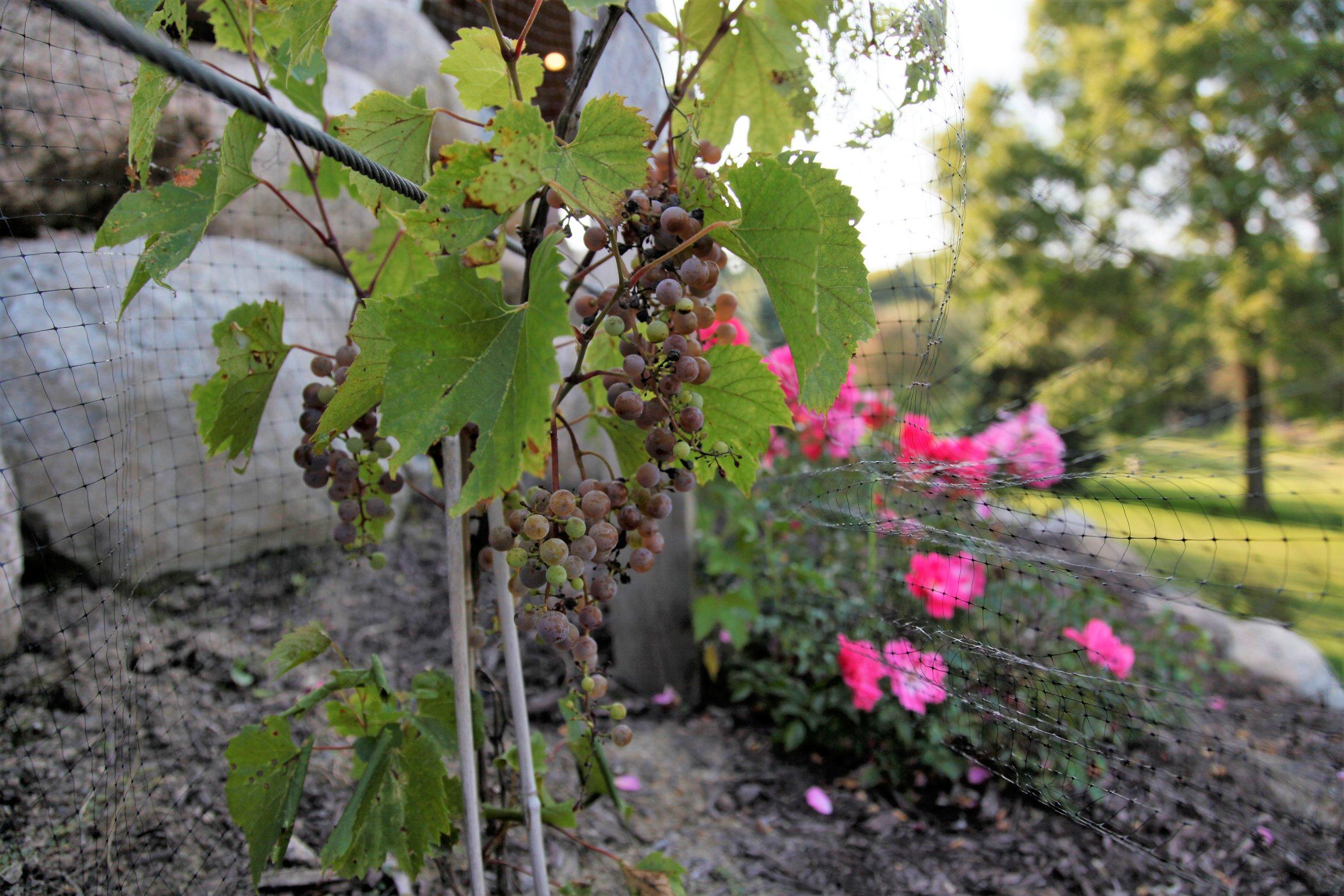 Mom's Design Build - Backyard Vineyard