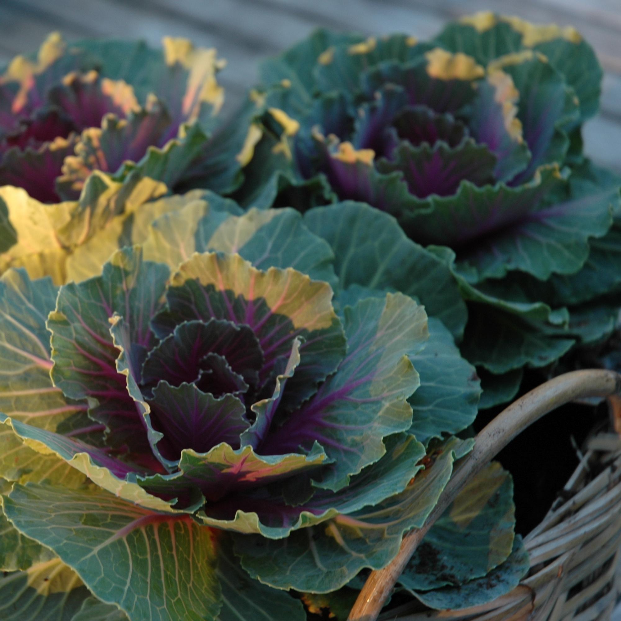 floweringcabbage.jpg