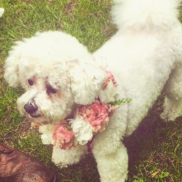 One of the stars of last weekend's wedding was the very dapper Louis! Congratulations to Amy and Aidan ❤️#bichonfrise #flowercollar #doggie #flowers #wedding
