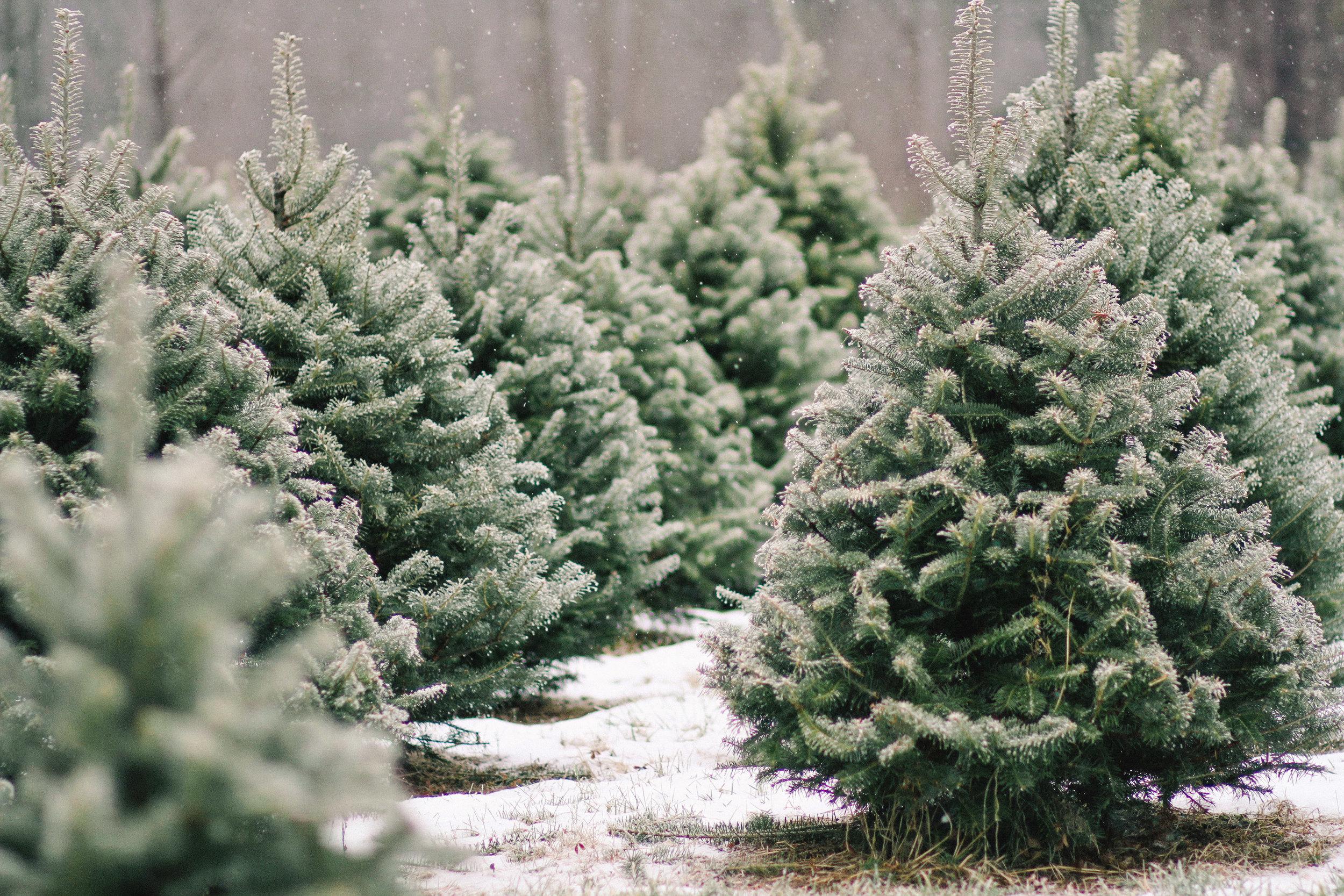 Christmas Tree Farm Pictures.Redland Family Farm U Cut Christmas Trees And Holiday