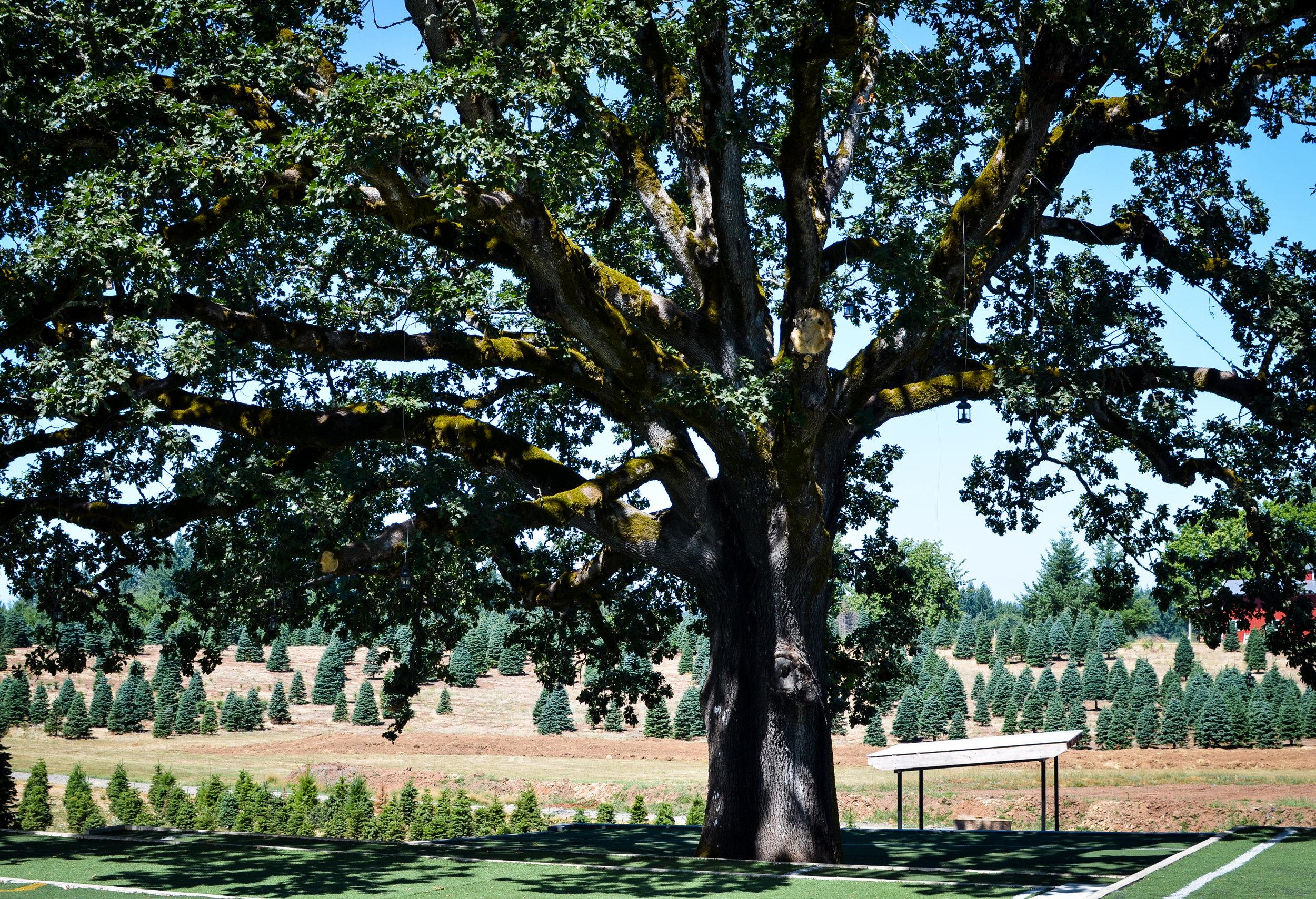 Magnificant+Oak.jpg