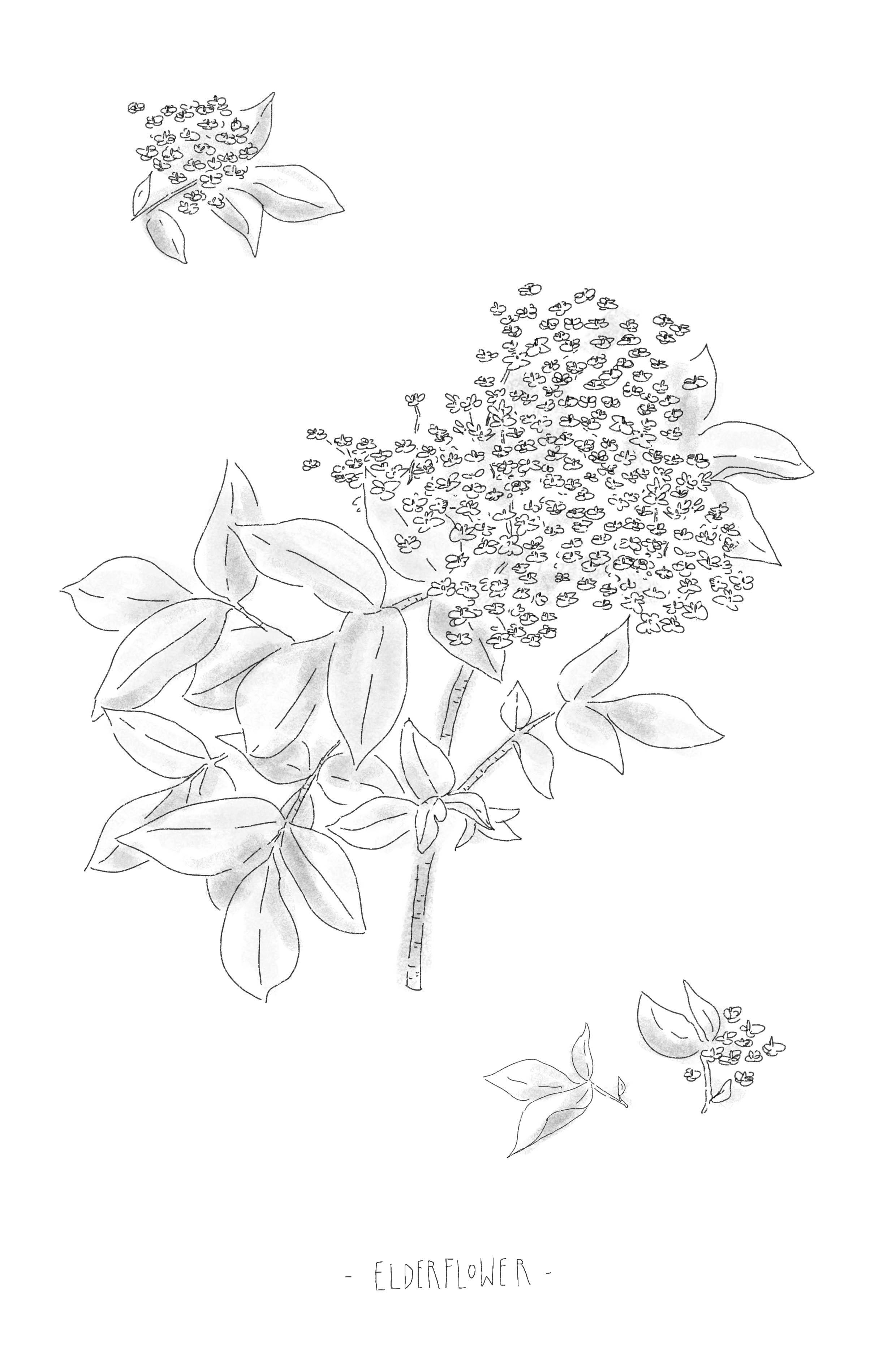 Elderflower m.jpg