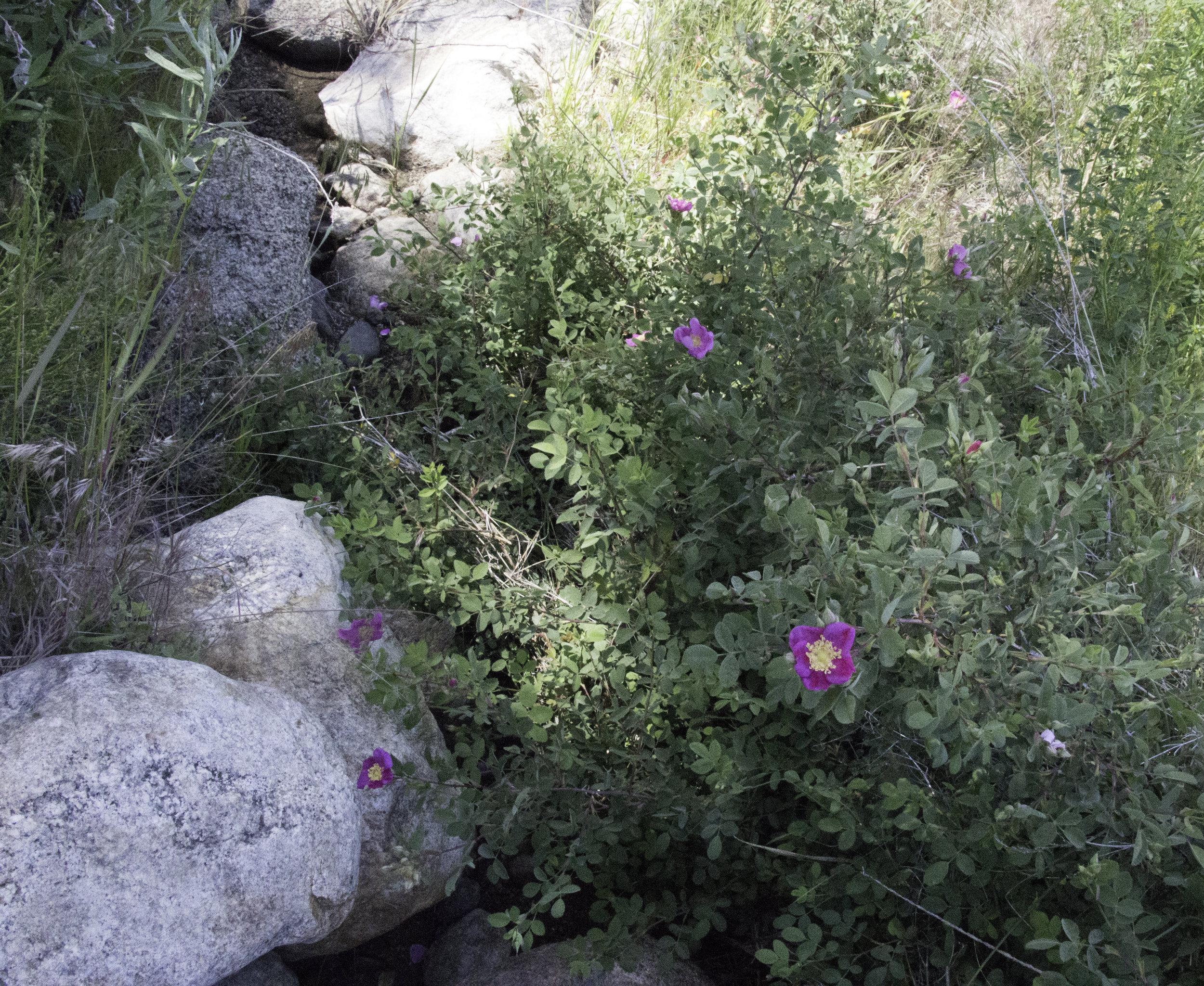 rosaspot.jpg