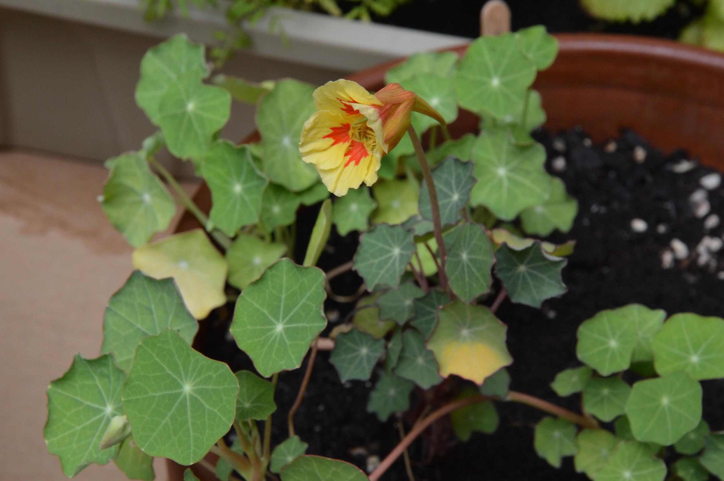 Fleurs de capucine / Nasturtium flowers