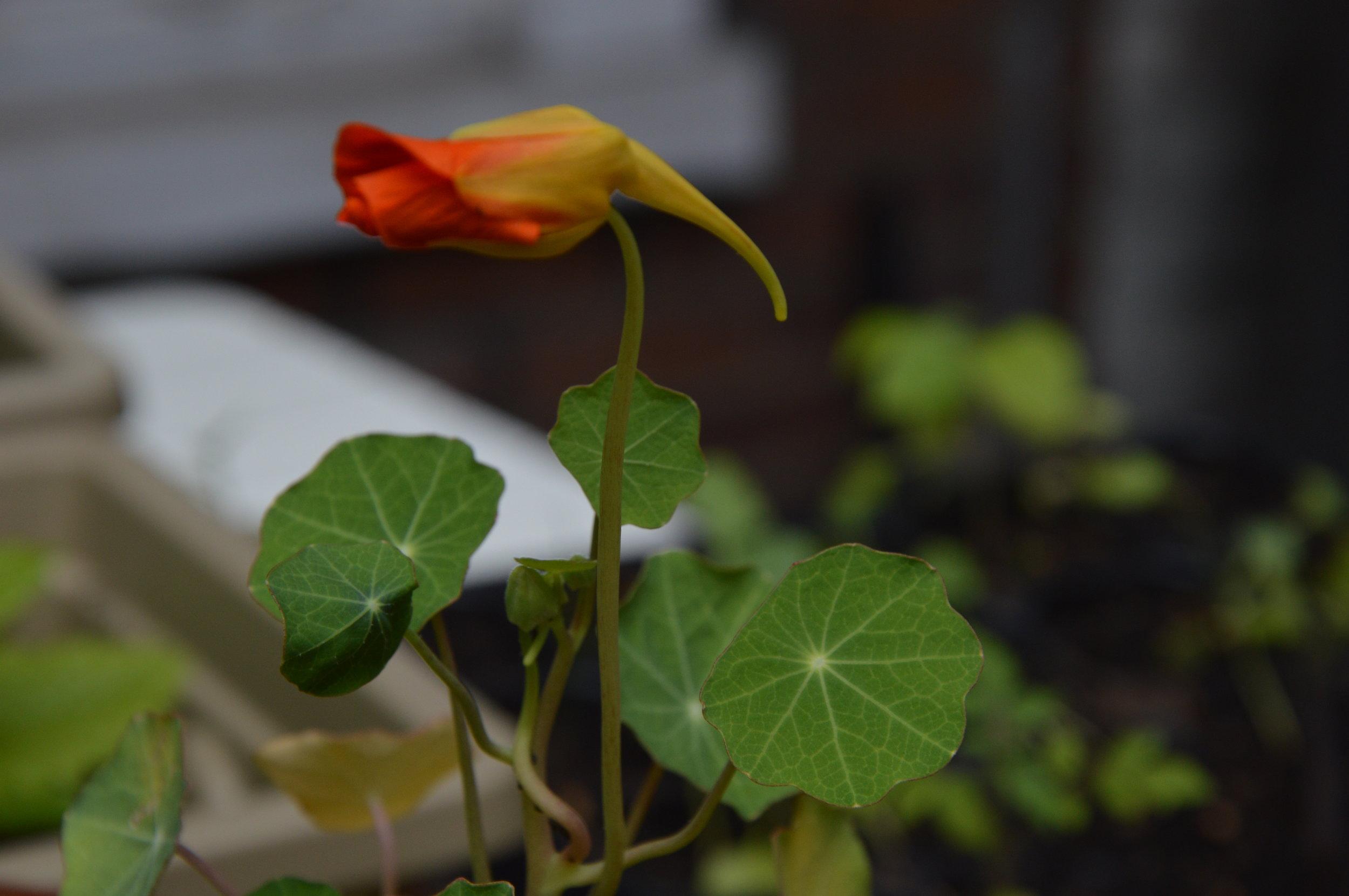 Fleur de capucine / Nasturtium flower