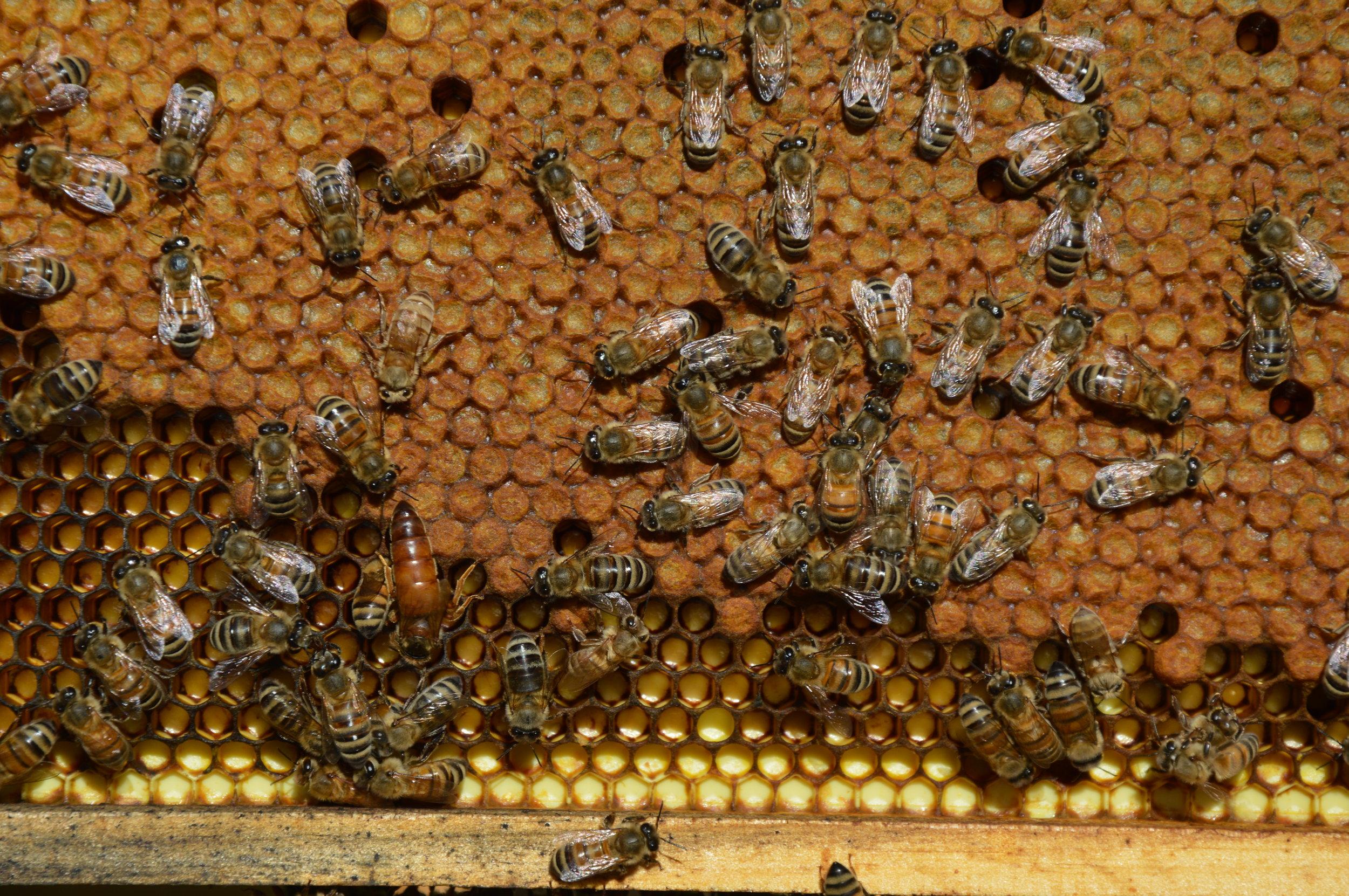 Cadre de ruche avec du couvain operculé.  La reine est très visible en bas à gauche du cadre.