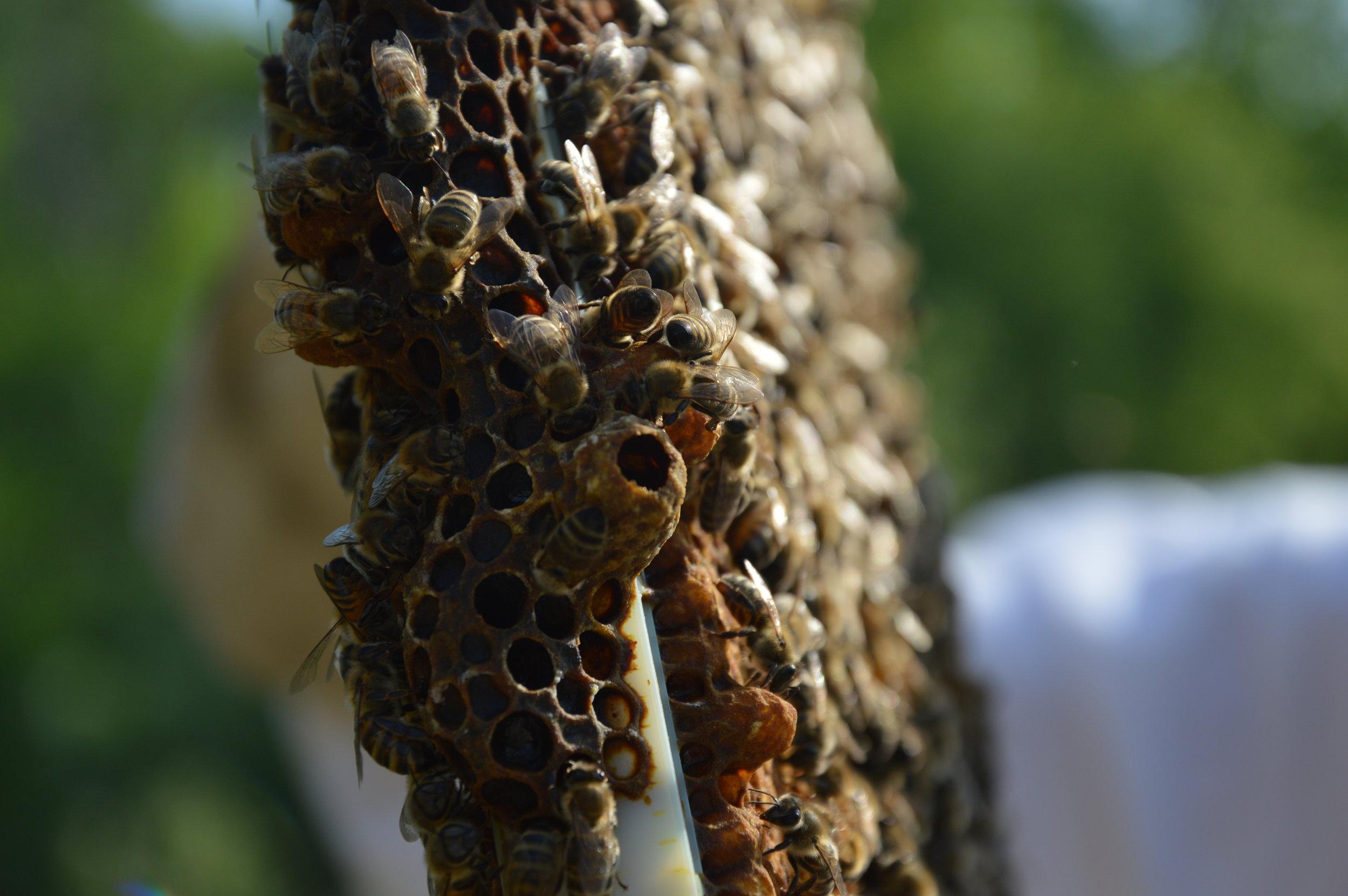 Cadre de ruche, on peut voir au centre de la photo une cellule royale ouverte.