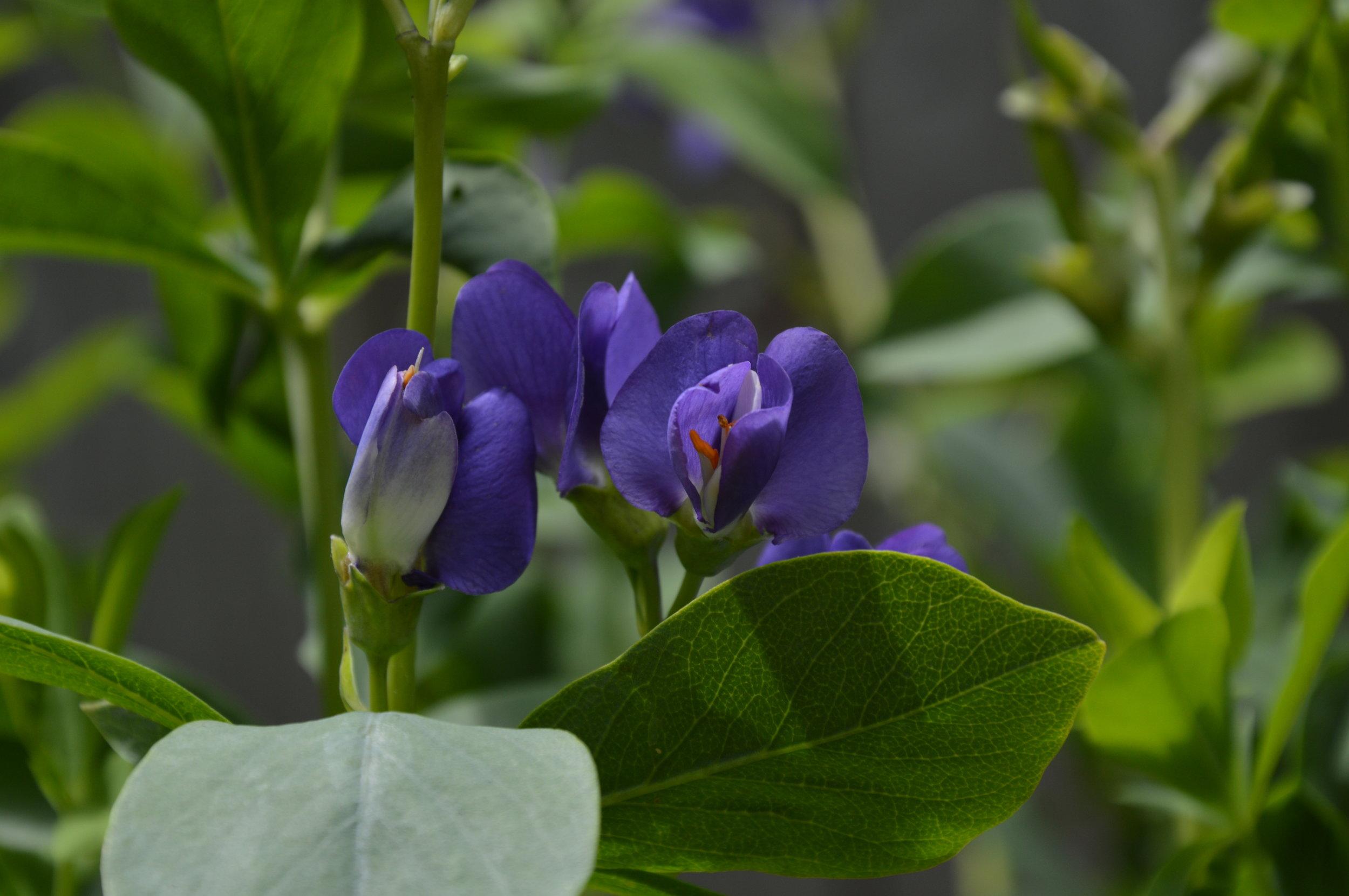 Baptitia australis - Pépinière Jasmin
