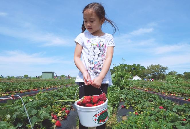 strawberryfields_04