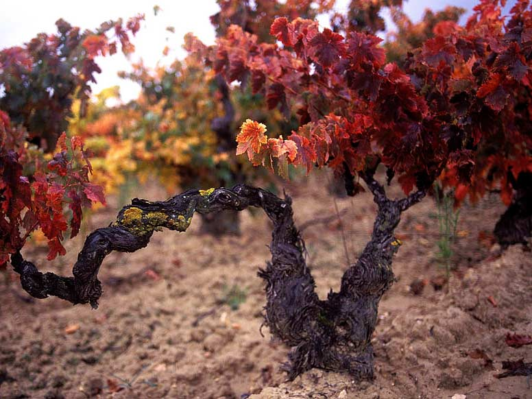OLD VINES ARE USED, TO GUARANTEE THE BEST QUALITY TEMPRANILLO AND GRENACHE GRAPE