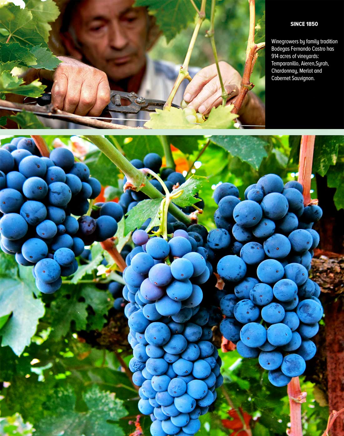 MERLOT  GRAPES PRODUCED   BY BODEGA FERNAND CASTRO
