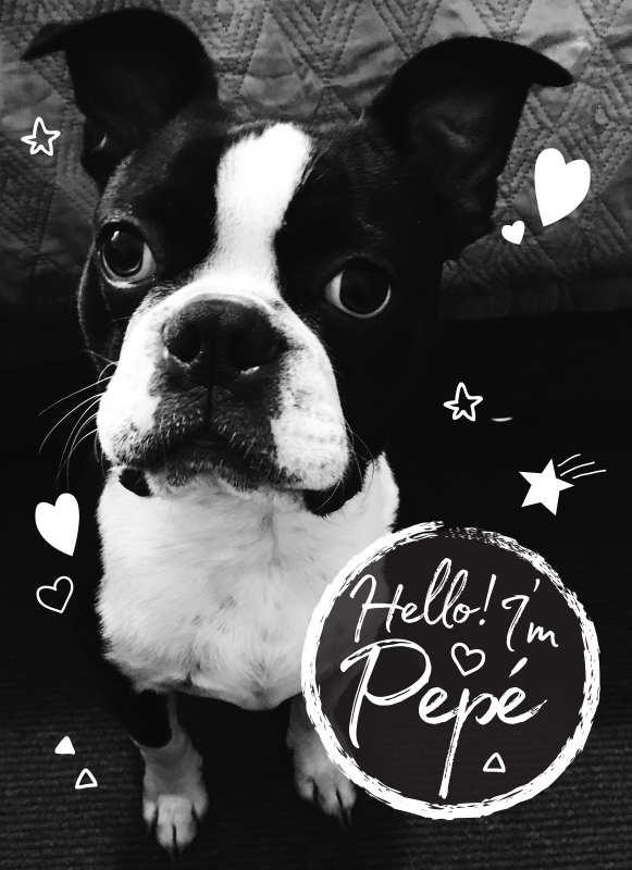 Pepe Le Pew Boston Terrier