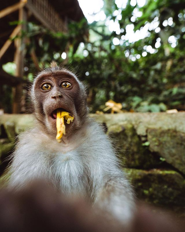The Balinese Long tail monkeys have some of the quirkiest personality's. This little guy was super stoked about the banana I gave him! 🍌