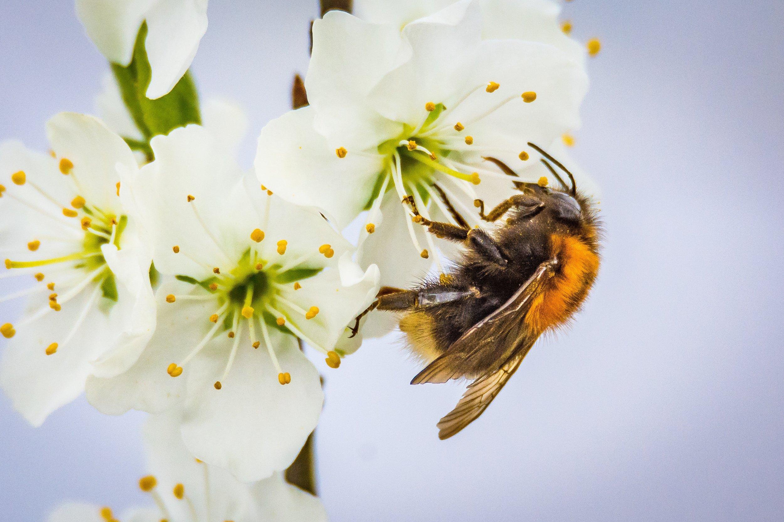 animal-bee-bloom-416311.jpg