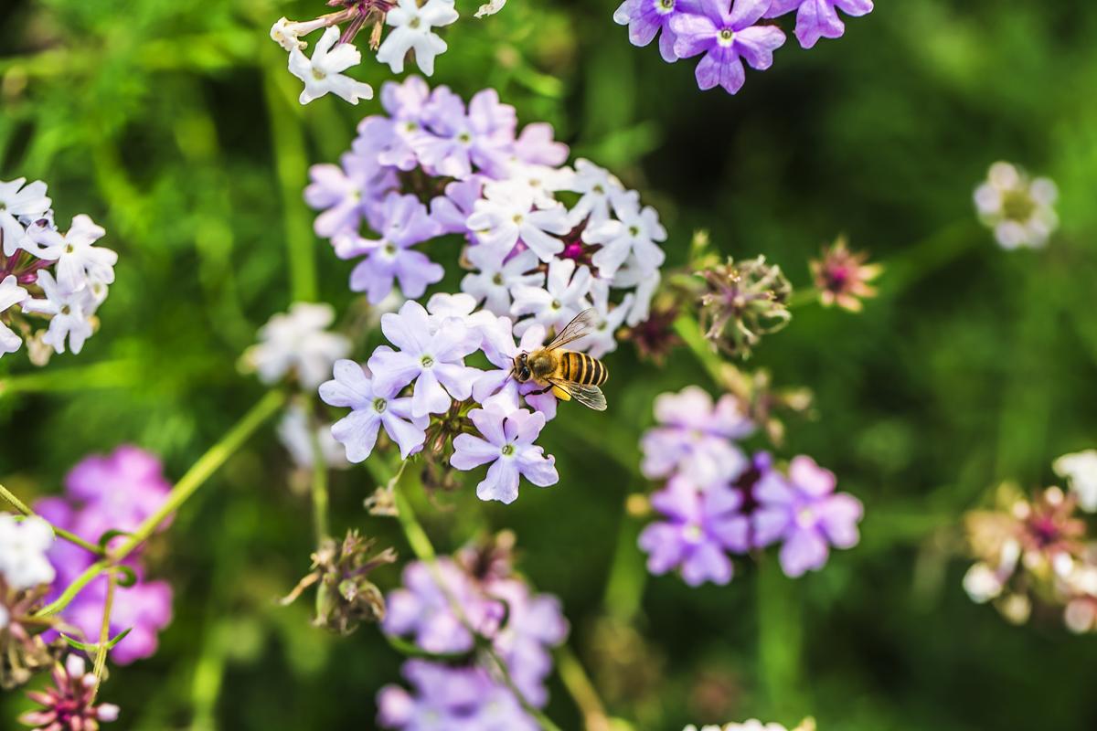 Doe mee met de nationale bijentelling! - De lente is het seizoen van bloemetjes en bijtjes. Maar zoals jullie allemaal wel weten gaat het niet zo goed met deze mooie vliegende geel-zwarte vriend. Er zijn maar liefst 360 (!) soorten bijen, waarvan de helft wordt bedreigd. Dat terwijl 80% van de eetbare gewassen in ons land afhankelijk is van bestuiving door bijen en andere insecten. Wil jij meehelpen?