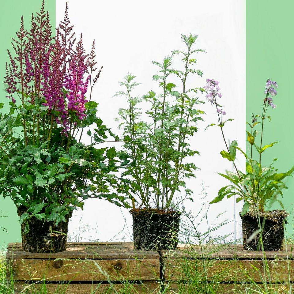 Sprinklr - Koop een EcoTuintje, bestaande uit Luizenplant (Bijvoet) + Astilbe + Anemone Wild Swan en krijg een gratis Salie plant cadeau met kortingscode 'KLOOKER19'