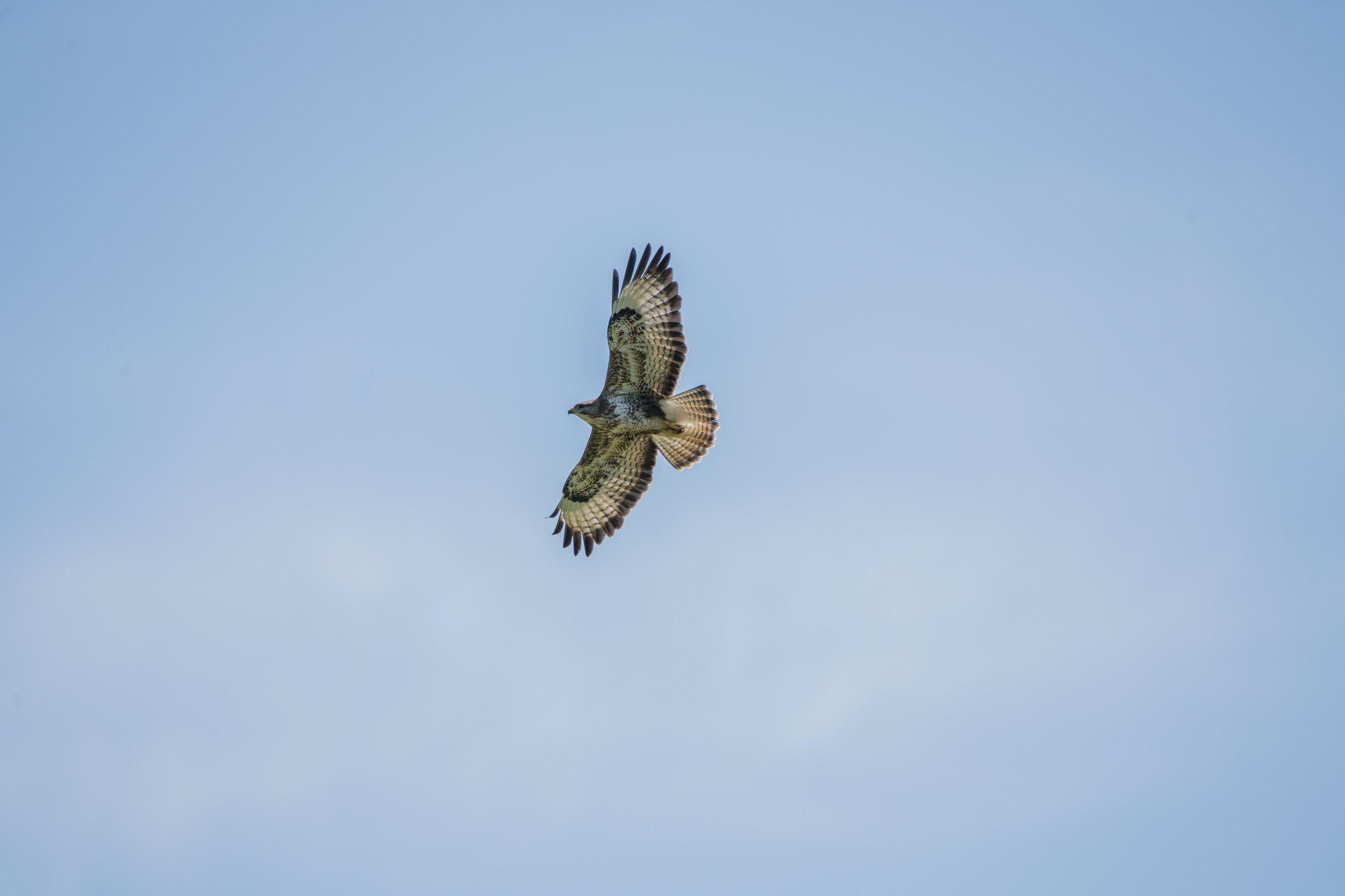 A buzzard soars overhead.
