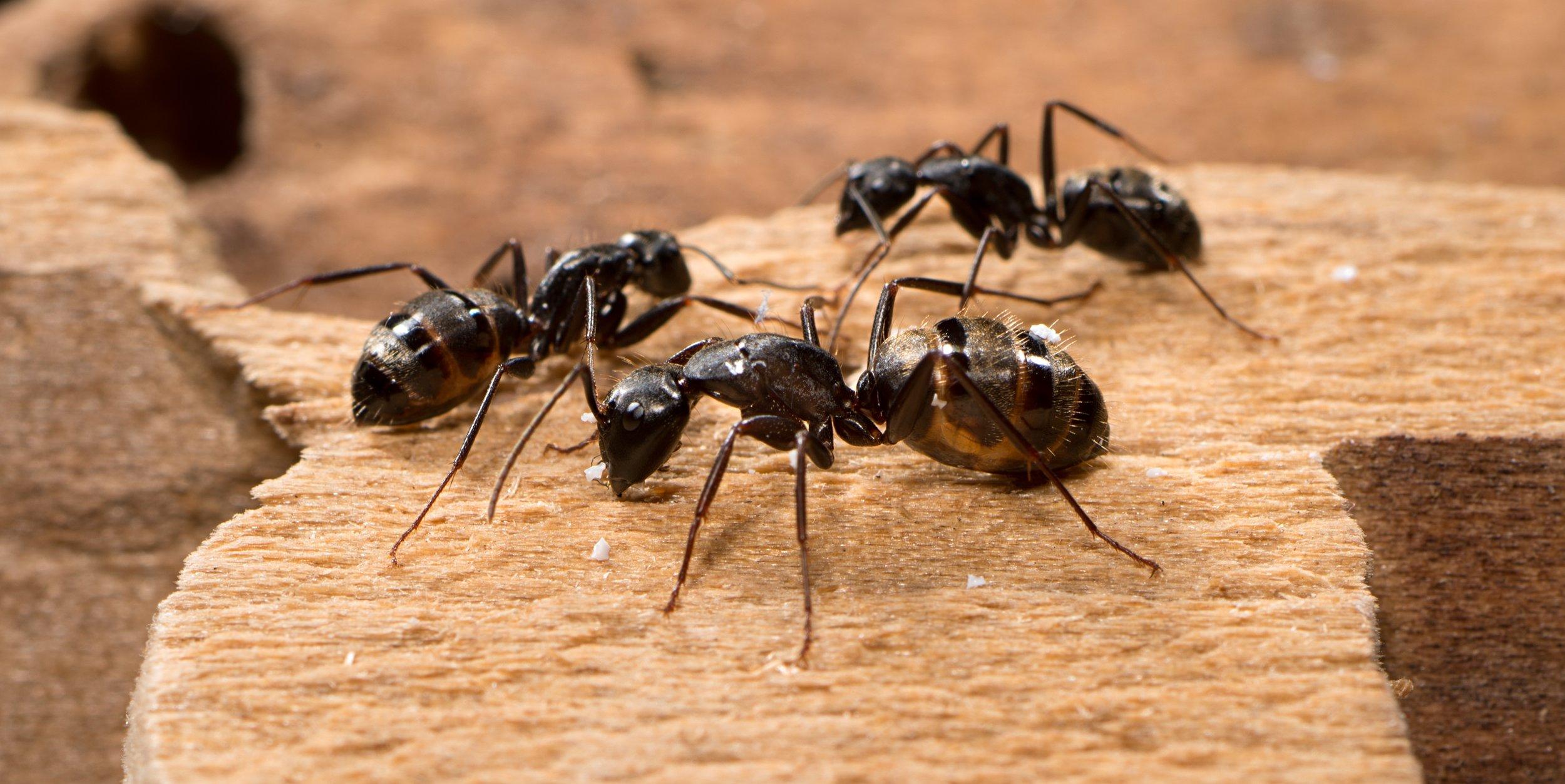 carpenter-ants-e1400242733380.jpg