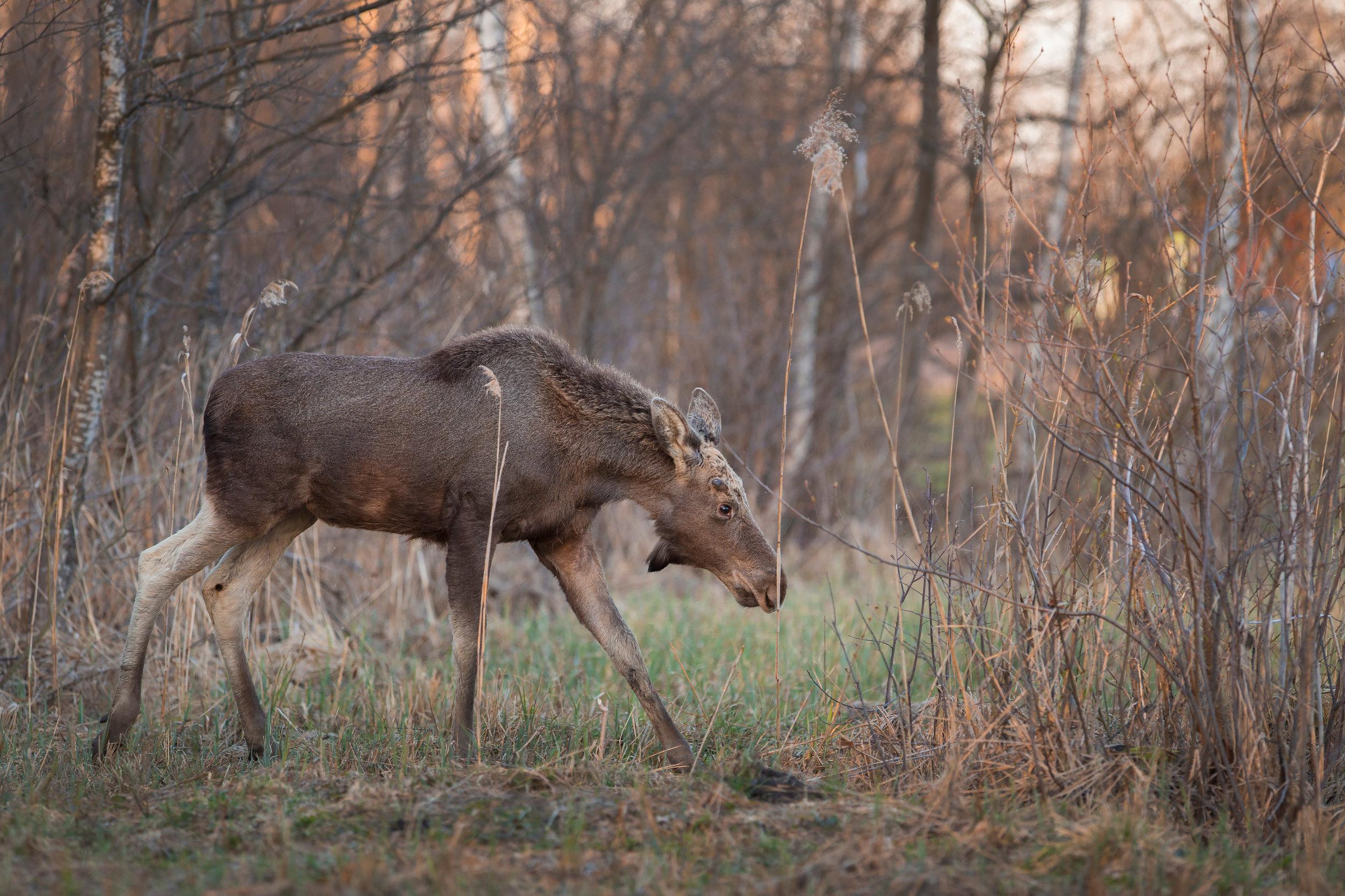 young moose bull .jpg