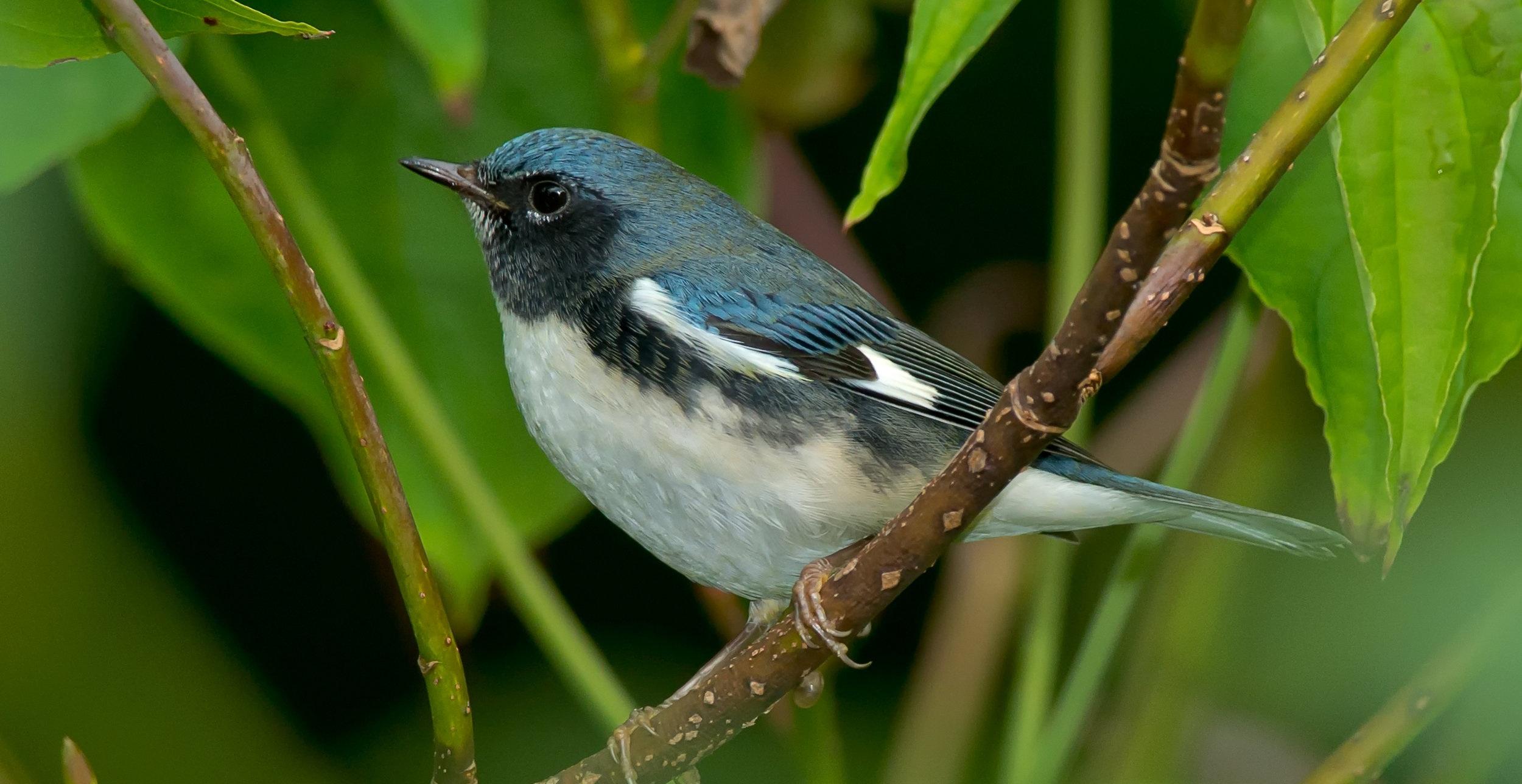 black+throated+blue+warbler.jpg