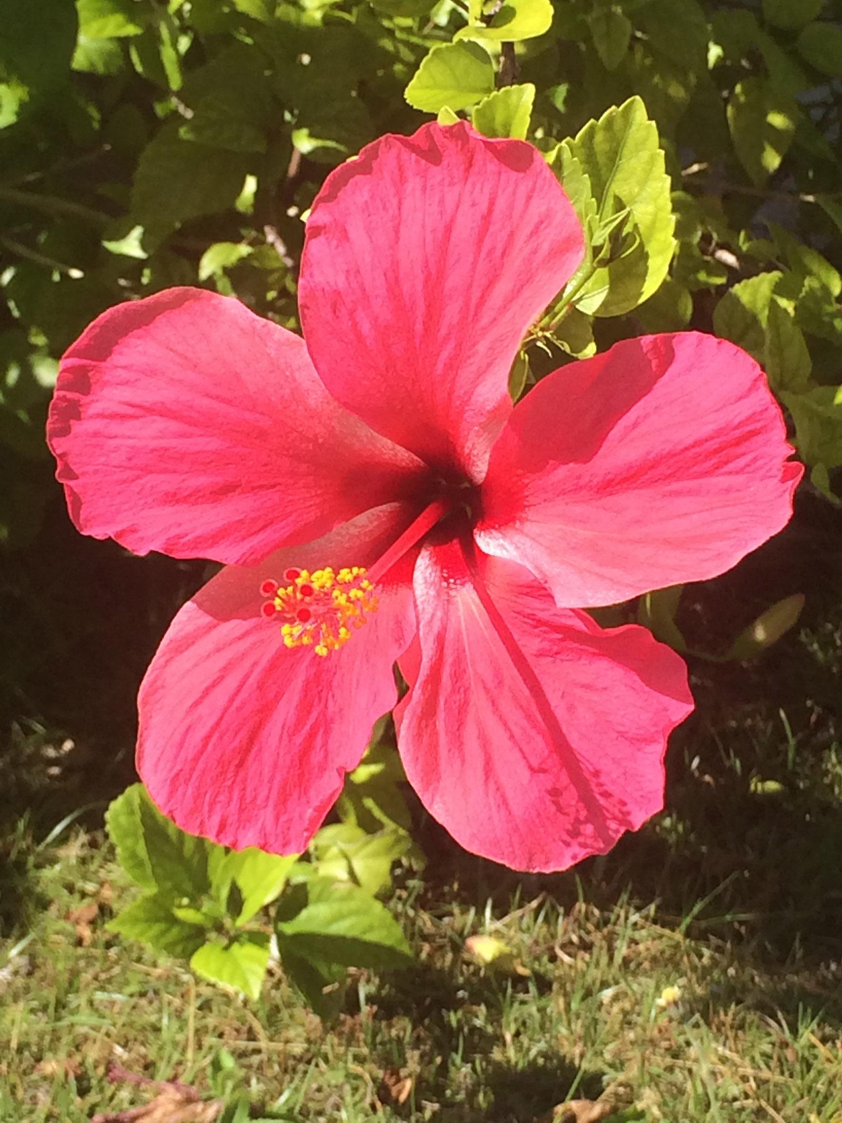 © Te Mana Travels — Hibiscus flower