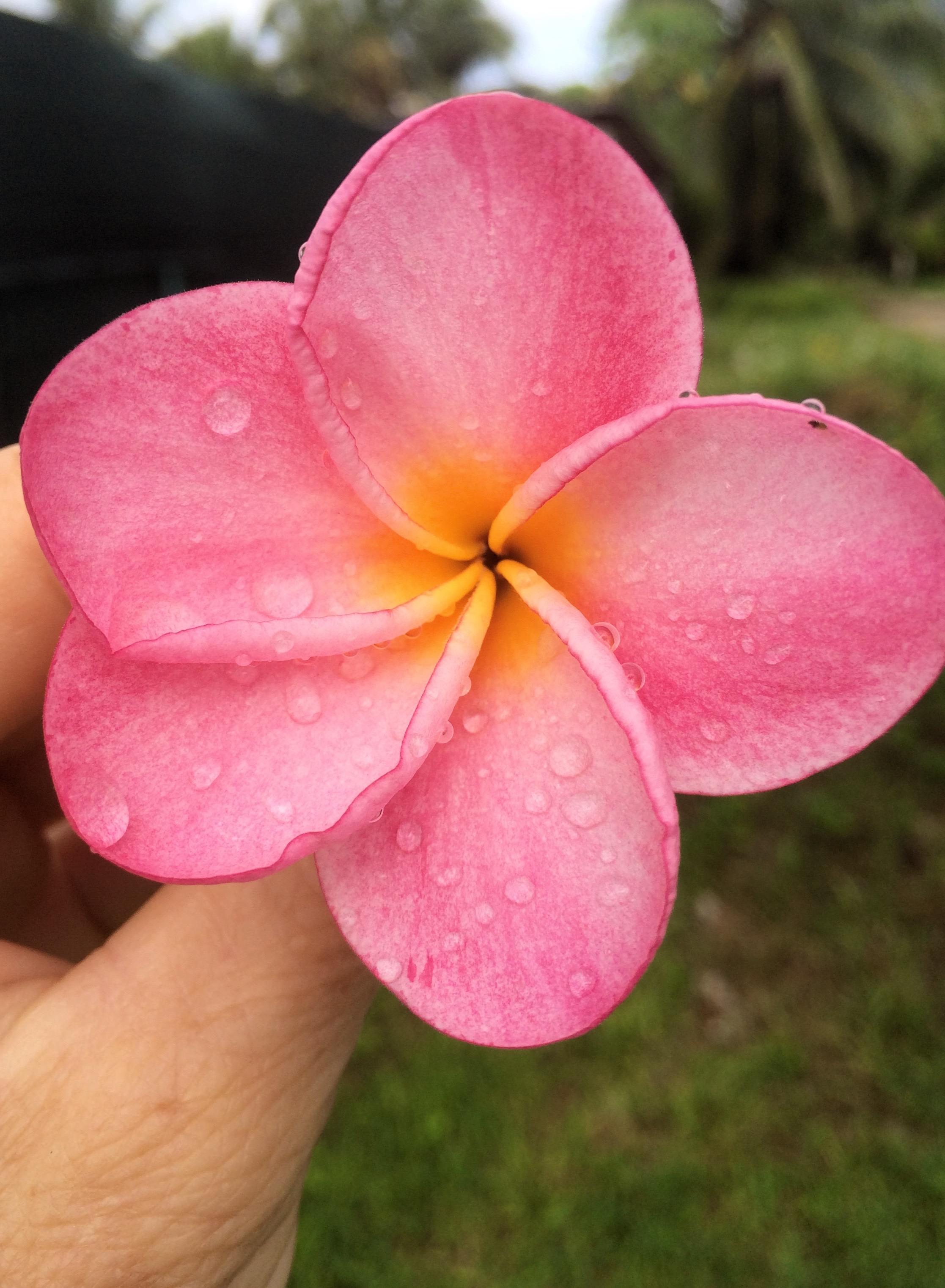 © Te Mana Travels — Pink plumeria