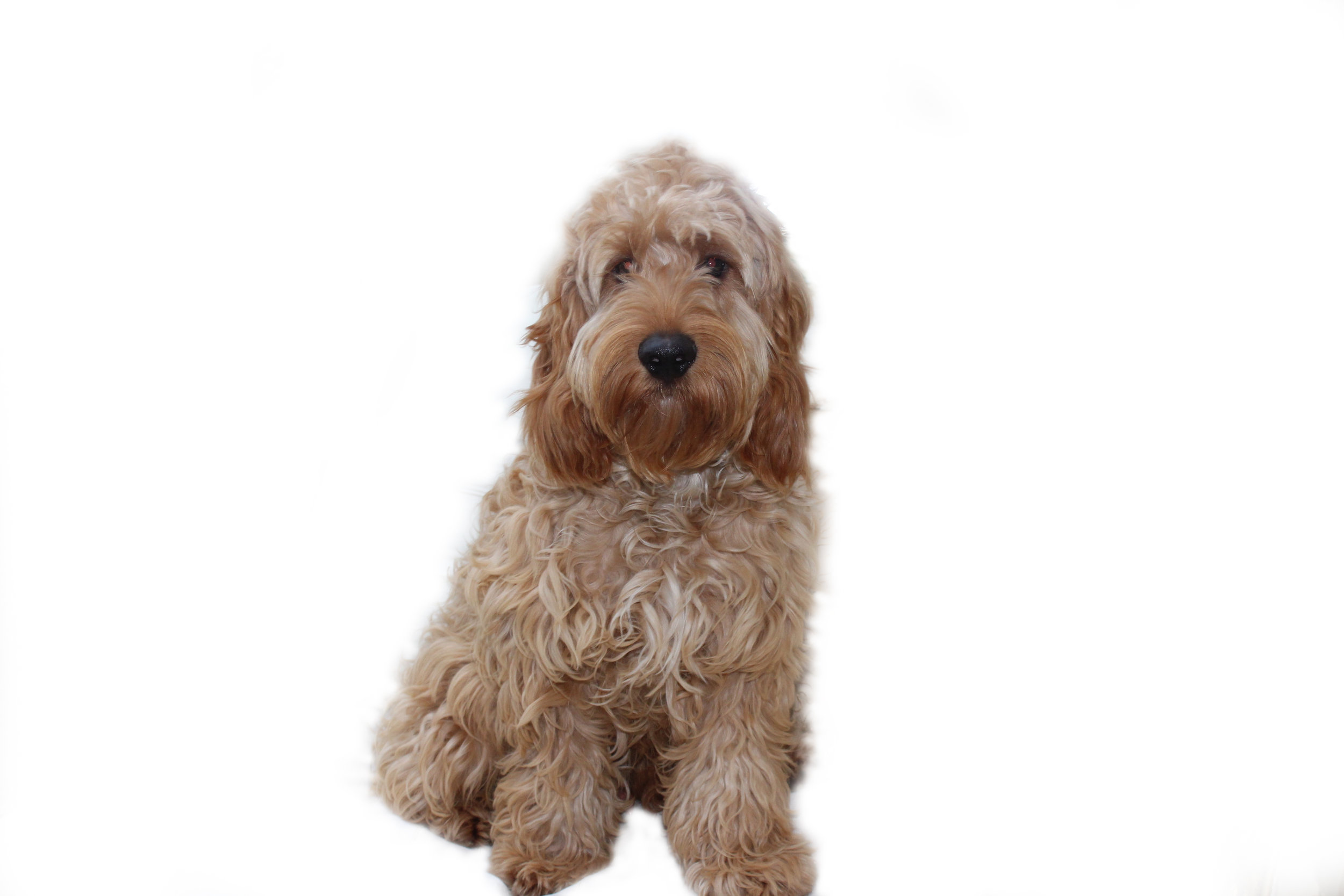 When your Cockapoo starts to get its adult coat, it is time for you to groom correctly, if not it may result in a matted coat.
