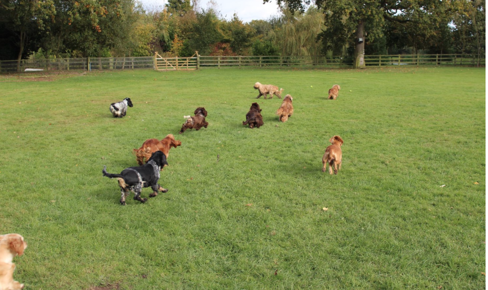 All our spaniels are english show cockers, mostly now all bred by ourselves from our unique breeding lines with outstanding natures, rare colours and beautiful on the inside and out, which underpins the unique Raffles Breeding. With a very refreshing retiring programme, no mum ever has more than 3 litters, some not even 2. We have substantial grounds and a lake and our dogs are all part of life here.