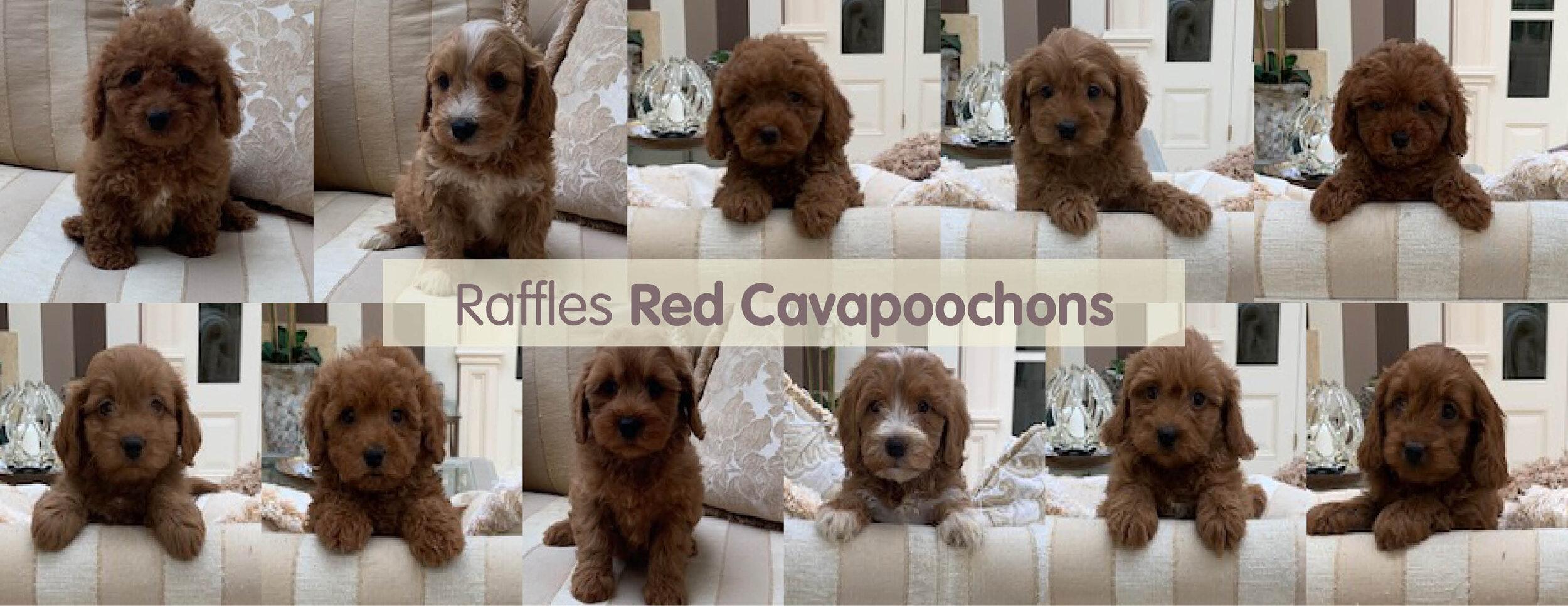 Red Cavapoochon Timeline.jpg